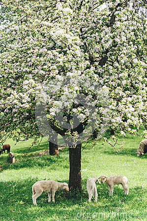 Free Flock Of Sheep Under A Tree Stock Photos - 40245953