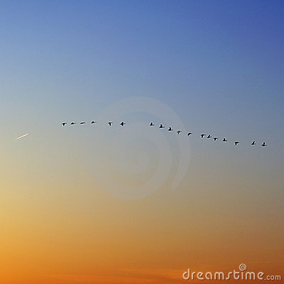 Free Flock Of Snow Geese And Plane Stock Images - 15283164