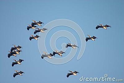 Flock of pelican birds