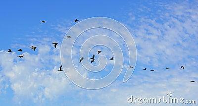 Flock of pelicans blue sky