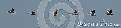 Flock of pelicans flies in the blue sky