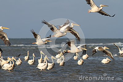Flock of pelicans flying over water