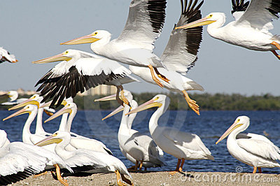 Flock of Pelicans by shore