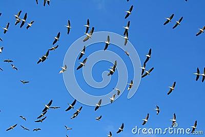 Flock of Pelicans in the sky