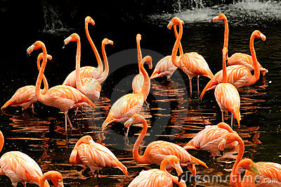 The flock of pink flamingo