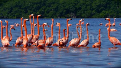 Flock of Pink Flamingos in Celestun, Mexico stock video