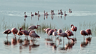 Flock of pink flamingos swiming on water