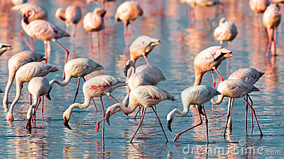 A flock of pink flamingos walk on water