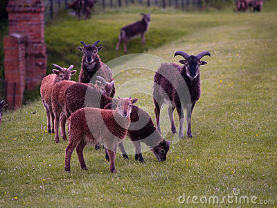 Flock of Rare Sheep