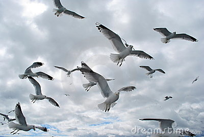 Flock of Sea-Gulls in the Baltic
