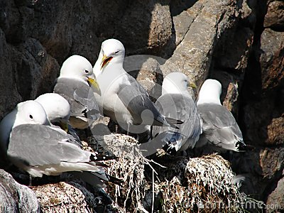 Flock of seagulls on cliff on Lofoten