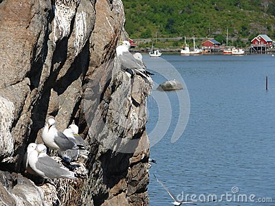 Flock of seagulls on cliff on Lofoten