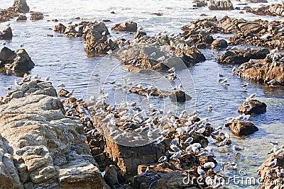 A flock of seaguls on a rocky coast