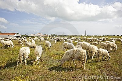 Flock of sheep in the countryside portugal