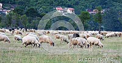 Flock of sheep farm animal