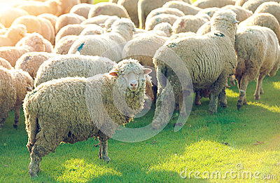 Flock of sheep grazing in a hill at sunset Stock Photo