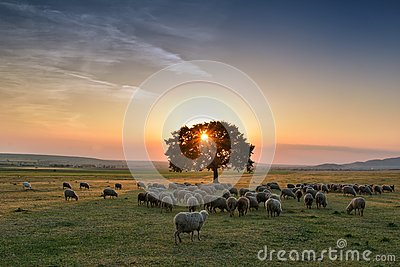Flock of sheep grazing in a hill at sunset. Stock Photo