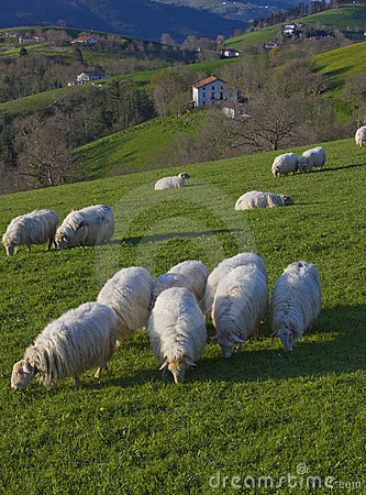 Flock of sheep grazing on pastures Euskadi