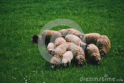 Flock Of Sheep On Green Grass On Field At Daytime Free Public Domain Cc0 Image