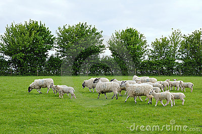 Flock of Sheep and Lambs