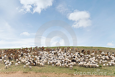 Flock of sheep led by goats