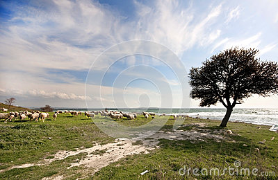 Flock of sheep near the Aegean sea, Gallipoli