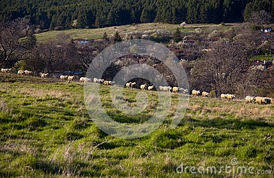 Flock of sheep at pasture