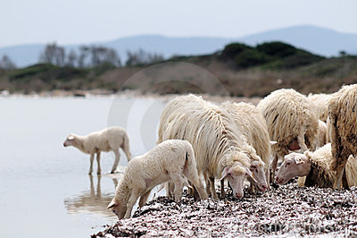 A flock of sheep at the sea shore. Sardinia