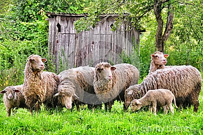 A flock of sheep Stock Photo