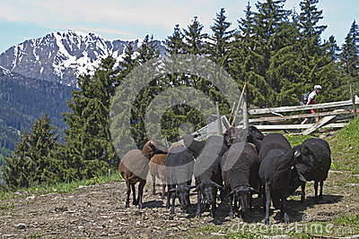 Flock of sheep in South Tyrol