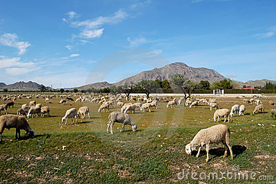 Flock of sheep, spanish farming