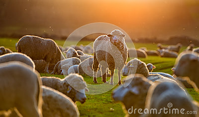Flock of sheep at sunset in spring time Stock Photo