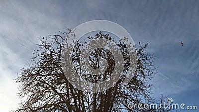 Flock of starlings Sturnus Vulgaris stock video footage