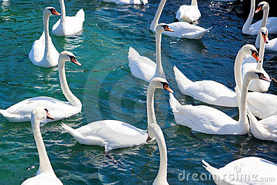 Flock of swans