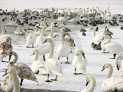 Flock Of Swans And Ducks Royalty Free Stock Photography - Image: 702707