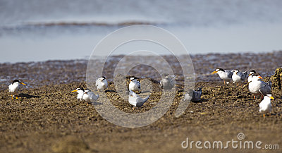 A Flock of Terns