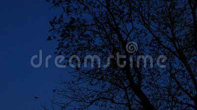 Flock of Texas grackles flying from trees at night. Large Flock of Texas grackles flying from leafless  trees at night stock video