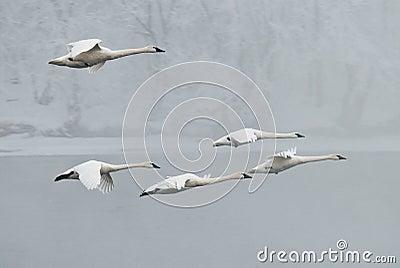 Flock of Trumpeter Swans Flies Over River