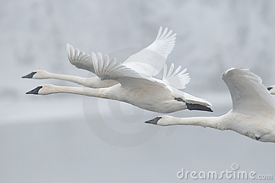Flock of Trumpeter Swans Fly Past