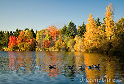 Flock of wild geese in fall forest
