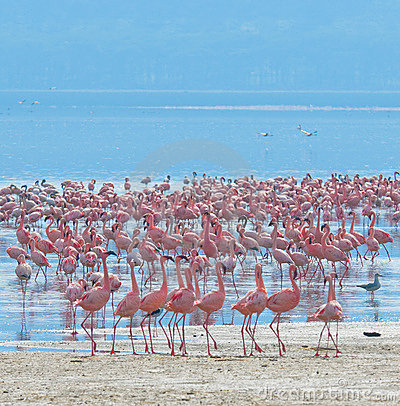 Free Flocks Of Flamingo Royalty Free Stock Photos - 6704078