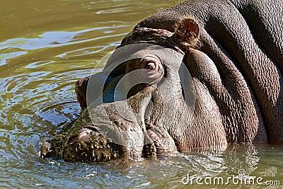 Flodhäst i vattnet