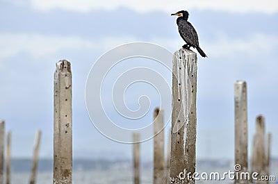 The flog of Great Egret, inner gulf of Thai.Thailand