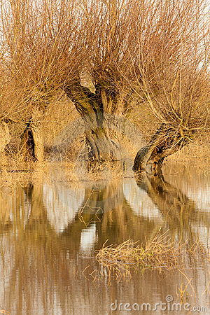 Flooded Willow Tree