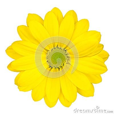 Flor amarilla de la margarita con el centro verde aislado