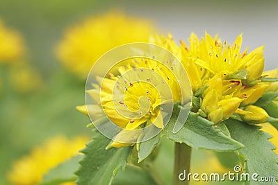 Flor amarilla del sedum de Kamtschat