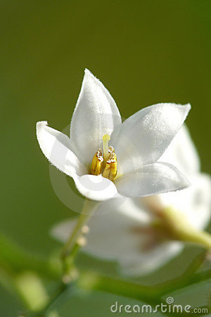 Flor branca pequena