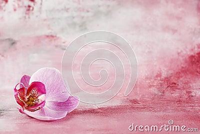Flor cor-de-rosa da orquídea