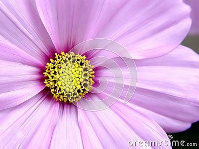 Flor cor-de-rosa de Cosmo