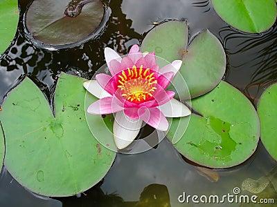 Flor cor-de-rosa de florescência bonita dos lótus do lírio de água